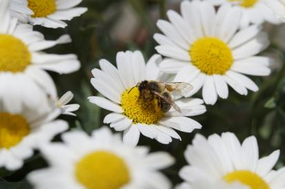 Kopretiny, včela